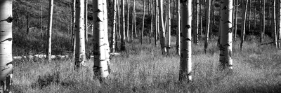 Aspen Trees Growing in a Forest, Grand Teton National Park, Wyoming, USA Photographic Print by  Panoramic Images