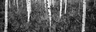 Aspen Trees in a Forest, Shadow Mountain, Grand Teton National Park, Wyoming, USA Photographic Print by  Panoramic Images