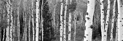 Aspen and Conifers Trees in a Forest, Granite Canyon, Grand Teton National Park, Wyoming, USA Photographic Print by  Panoramic Images
