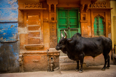 Holy Cow Standing in the Blue Streets of Jodhpur, the Blue City, Rajasthan, India, Asia Photographic Print by Laura Grier