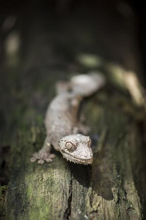 Leaf-Tailed Gecko (Baweng Satanic Leaf Gecko) (Uroplatus Phantasticus), Endemic to Madagascar Photographic Print by Matthew Williams-Ellis