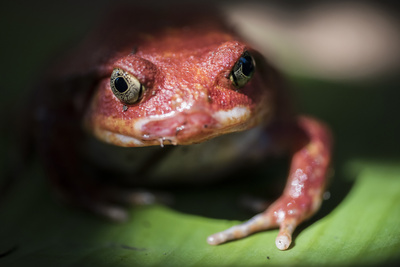 Close-Up of a Madagascar Tomato Frog (Dyscophus Antongilii), Endemic to Madagascar, Africa Photographic Print by Matthew Williams-Ellis