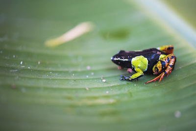 Mantella Baroni, a Frog Endemic to Madagascar, Africa Photographic Print by Matthew Williams-Ellis