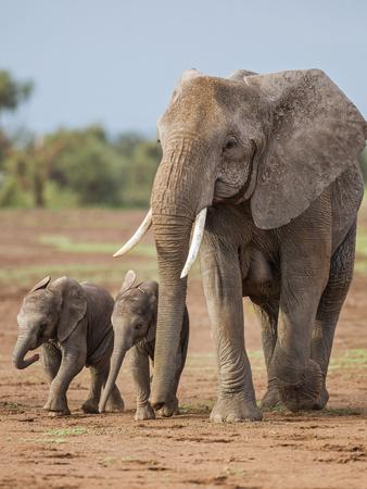 Kenya, Kajiado County, Amboseli National Park. a Female African Elephant with Two Small Babies. Photographic Print by Nigel Pavitt