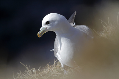 Northern Fulmar Perched Photographic Print by William Gray