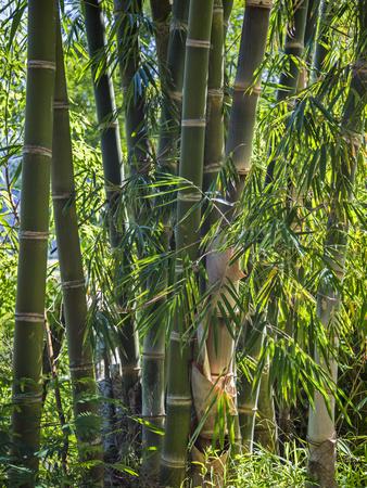 Indonesia, Flores Island, Ruteng a Clump of Stout Bamboo Growing Near Ruteng. Photographic Print by Nigel Pavitt
