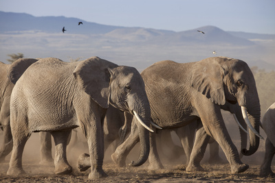 Kenya, Amboseli National Park. a Breeding Herd of Elephant. Fotografie-Druck von Niels Van Gijn