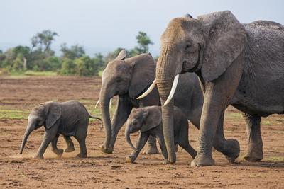 Kenya, Kajiado County, Amboseli National Park. a Family of African Elephants on the Move. Photographic Print by Nigel Pavitt