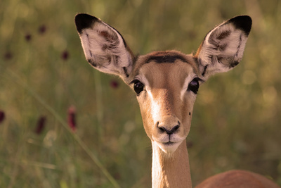 Impala Portrait, Ruaha National Park, Tanzania - an Alert Ewe Stares Directly at the Camera Photographic Print by William Gray