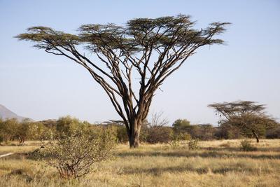 Kenya, Shaba National Park. a Magnificent Acacia Tortilis. Fotografie-Druck von Niels Van Gijn