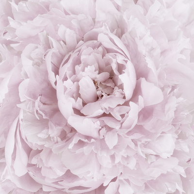 Pink Peony Flower Photographic Print by Cora Niele