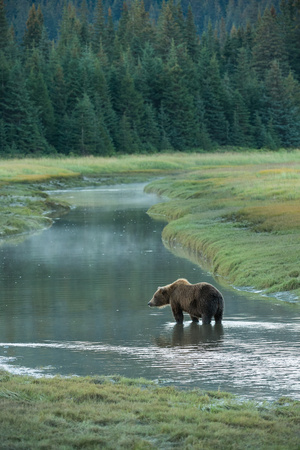 Brown Bear, Ursus Arctos, Standing in Water at Silver Salmon Creek Lodge Photographic Print by Charles Smith