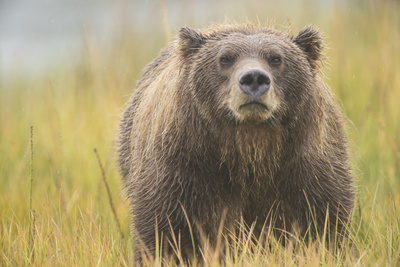 Brown Bear, Ursus Arctos, at Silver Salmon Creek Lodge in Lake Clark National Park Photographic Print by Charles Smith