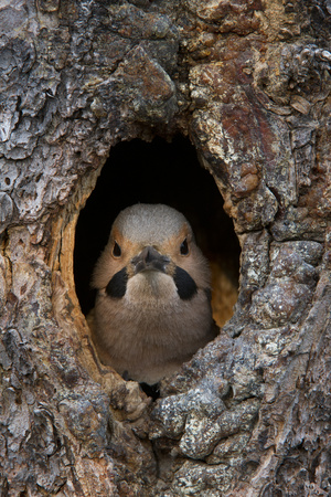 A Northern Flicker in the Hollow of a Tree Photographic Print by Michael Quinton