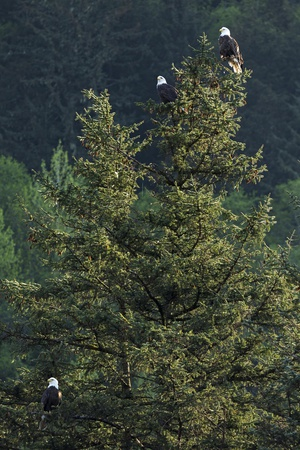 Bald Eagles, Haliaeetus Leucocephalus, Perching on a Tree Photographic Print by Macduff Everton