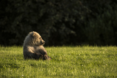 Brown Bear, Ursus Arctos, Sitting in Green Grass Photographic Print by Charles Smith