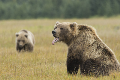 Brown Bear, Ursus Arctos, in Grassy Field Sticking Tongue Out Photographic Print by Charles Smith