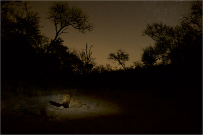 A Male Lion in South Africa's Sabi Sand Game Reserve Photographic Print by Steve Winter