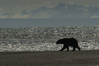 Silhouette of a Brown Bear Walking Near the Water at Silver Salmon Creek Lodge Photographic Print by Charles Smith