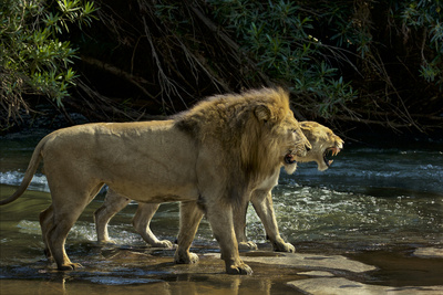 A Mating Pair of Lions at the River's Edge in South Africa's Sabi Sand Game Reserve Photographic Print by Steve Winter