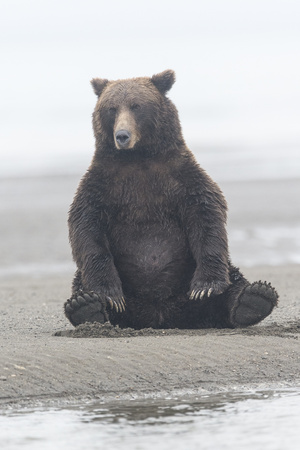 Brown Bear Sitting on Sand at Silver Salmon Creek Lodge in Lake Clark National Park Photographic Print by Charles Smith