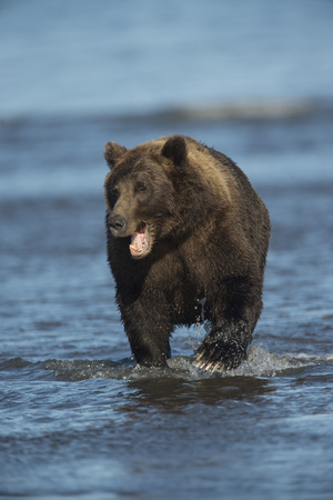 Brown Bear Wading in Water at Silver Salmon Creek Lodge in Lake Clark National Park Photographic Print by Charles Smith