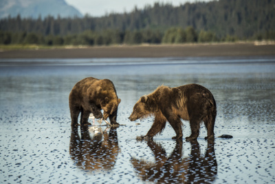 Brown Bear Walking at Silver Salmon Creek Lodge in Lake Clark National Park Photographic Print by Charles Smith