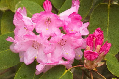 Rhododendron I Art by George Johnson