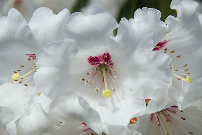White Rhododendron Posters by George Johnson