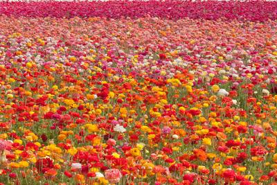 Ranunculus Field Posters by Lee Peterson