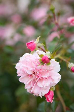 Rose Garden II Prints by Karyn Millet