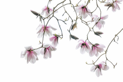 Bainbridge Magnolias II Prints by Kathy Mahan