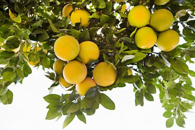 Lemon Grove I Prints by Karyn Millet
