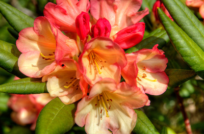 Rhododendron II Posters by George Johnson