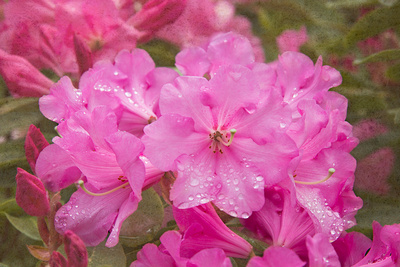 Pink Rhododendron Print by George Johnson