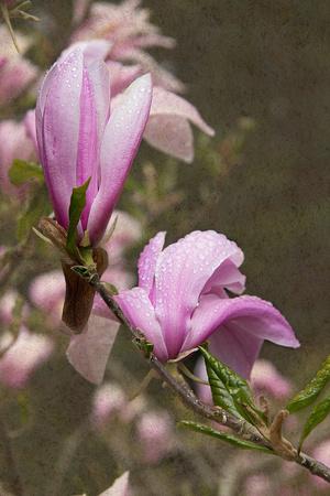 Pink Tulip Tree I Prints by George Johnson