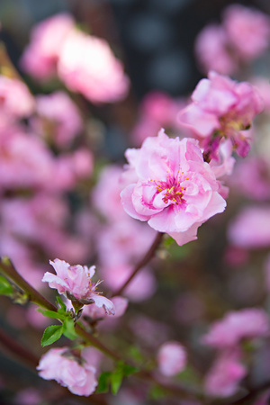 Pink Blossoms I Art by Karyn Millet