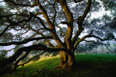 Mystical Old Oak Tree, Petaluma Countryside California Photographic Print by Vincent James