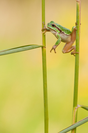 European Treefrog, Central European Treefrog, Hanging Between Two Sprouts, Rhineland-Palatinate Photographic Print by  Blickwinkel/Fieber