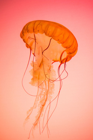 Photograph of a Live Pacific Northwest Sea Nettle Jellyfish on a Red-Orange Background Photographic Print by Gregory Slocum