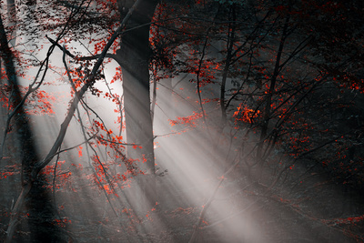 Red Colors and Subeams in the Forest Photographic Print by  Gufoto