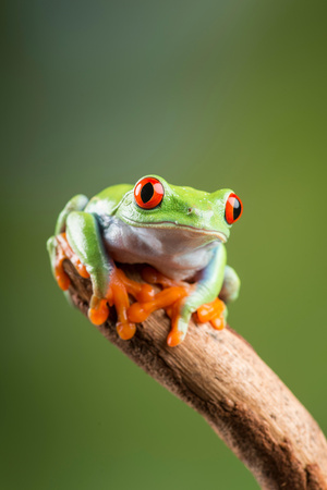 Red-Eyed Tree Frog (Agalychnis Callidryas). Controlled, Studio Photographic Print by Adrian Davies