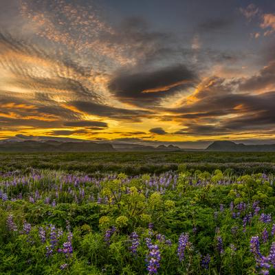 Lupines, Myrdalssandur, South Coast, Iceland Photographic Print by Ragnar Th Sigurdsson