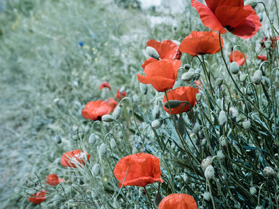 Field of Bright Red Corn Poppy Flowers in Summer Photographic Print by Tetyana Kochneva
