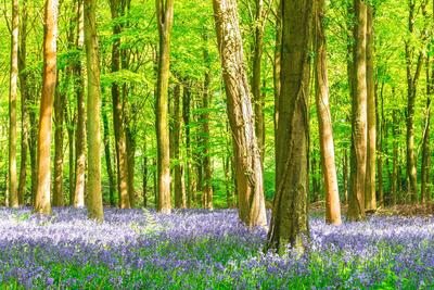 Spring Bluebell Photographic Print by Robert Maynard