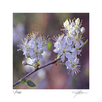 Spring Blooms Limited Edition by Ken Bremer