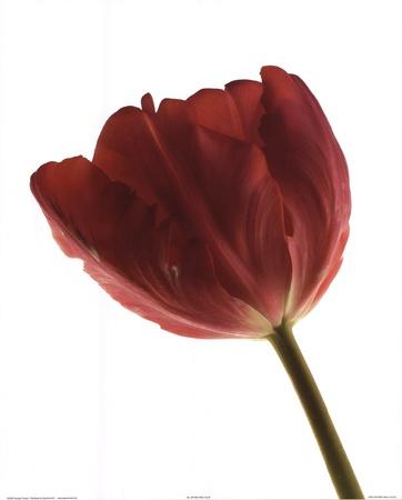 Red Tulip Art by  Art Photo Pro
