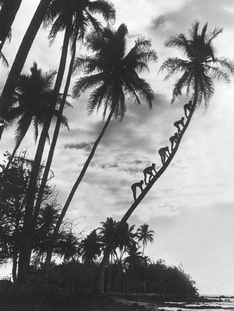 Palms on Hawaii, 1930s Photographic Print by  Süddeutsche Zeitung Photo