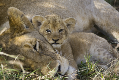 African Lion (Panthera Leo) Mother Resting with Cub, Vulnerable, Masai Mara Nat'l Reserve, Kenya Stretched Canvas Print by Suzi Eszterhas/Minden Pictures