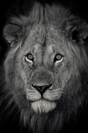 An Adult Lion Sits and Waits for Night to Fall in the Fading Light Stretched Canvas Print by Robin Moore